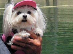 So adorable in her visor & rash shirt! #maltese #adorable