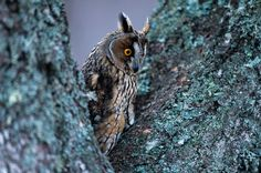 LONG-EARED OWL - A Long-eared Owl peering down from the large branches of a tree.