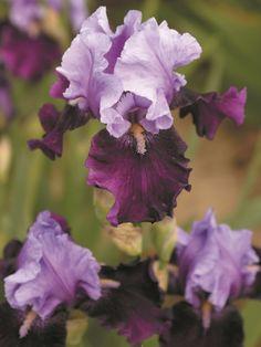 iris-germanica-blue-bird-wine-20-gradina-anthesis