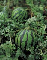 milk can be used to spray mature watermelon vines to help prevent powdery mildew
