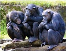 The common chimpanzee (Pan troglodytes), also known as the robust chimpanzee, is a species of great ape. Funny Monkey Pictures, Animal Pictures, Cute Pictures, Gorilla Gorilla, Photos Singe, Los Primates, Funny Animals, Cute Animals, Ape Monkey