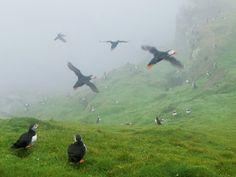07-puffin-controlled-fog-swept-cliffs-670