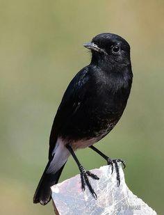 Cute Birds, Pretty Birds, Beautiful Birds, N Animals, Black Animals, Animal Magnetism, Kinds Of Birds, Color Pencil Art, Animal Games