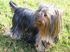 Yorkshire Terrier | Pictures, Information, and Reviews