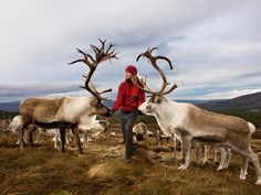 """Pro tip: Alternative lighting has been set up to avoid using flash around the animals     Caption: Melanie Gaff, a reindeer herder, feeds the Cairngorm reindeers, Britain's only free-ranging herd. The animals are tame, allowing visitors to come very close ""   If you have to bother animals, be very nice about it."