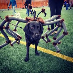 IS IT A LAB OR SPIDER??? At Quad,  in Evanston, for Pooch-A-Palooza!!!! We are here till 2PM. COME OUT FOR FUN, GAMES AND DOGS!! 💙💙💙 BRING YOUR DOG!!! #doglover #dog #dogs #woof #fun #indoor #coopersway #pets #playtime