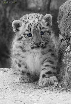 20 baby animals that are so cute it's ridiculous! - Henny Rebig - 20 baby animals that are so cute it's ridiculous! 20 baby animals that are so cute it's ridiculous! – Whole Lifestyle - Baby Snow Leopard, Leopard Cub, Baby Animals Pictures, Animals And Pets, Funny Animals, Big Cats, Cats And Kittens, Cute Cats, Cute Bunny