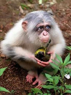 What a lovely treasure of a critter - albino chimpanzee with brown and blue eyes.
