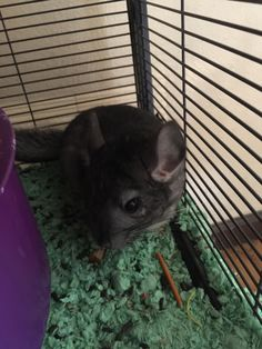 Not exactly perfect but here's a picture of my Chinchilla Zoe http://ift.tt/2lLBHVm