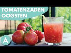 Tomatenzaden oogsten! - ANGELO - Tuintip #6