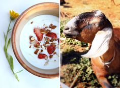 Making Yogurt, all by Yourself - instructions for making it from raw milk, cow milk and goat milk!