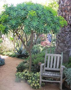 Euphorbias do well in my northern California garden ~Holy hell I had no idea they got that big! So pretty!