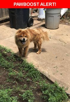 Is this your lost pet? Found in Oklahoma City, OK 73118. Please spread the word so we can find the owner!  Brown Chow   Nw 40th and McKinley