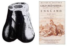 The fossil was found in England in 1676. It was (correctly) identified as the end of a femur at that time, but (incorrectly) ascribed to a giant human. Scrotum humanum was a name given to the species by Richard Brookes in 1763, who was honestly describing what the fossil looked like. Scientists didn't think that was quite proper, but the dinosaur name that was later given to the species, Megalosaurus bucklandi, could not be formally attached to the original 1676 femur, as the argument was…