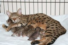 Mama cats are there from the very beginning, from nursing their kittens to teaching them how to play, stay safe, and develop their natural cat instincts. In honor of Mother's Day, here are ten videos of mama cats and their kittens. Exotic Cat Breeds, Exotic Cats, Gato Serval, Kittens Cutest, Cats And Kittens, Cats Meowing, Ragdoll Kittens, Funny Kittens, Leopards