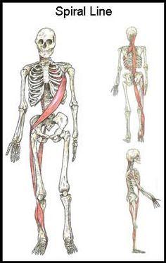 ... TFL (opposite side of obliques) > ITB > Anterior tibialis > Peroneus longus > biceps femoris >sacrotuberous ligament > sacral fascia > erector spinae