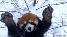 Red Pandas Having Fun in Fresh Snow | Gif Finder – Find and Share funny animated gifs