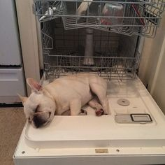 That's a happy, clean Frenchie…