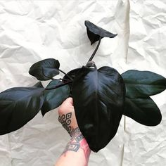 Houseplants That Filter the Air We Breathe Black Philodendron Royal Queen Garden Plants, Indoor Plants, Gothic Garden, Belle Plante, Decoration Plante, Black Garden, Paludarium, Black Flowers, Cool Plants