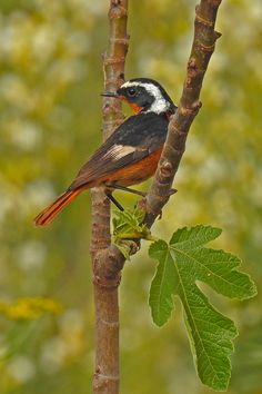 Moussier's Redstart male another October rarity in the region. Bird Guides, Information About Birds, Area Of Expertise, Andalucia, Months In A Year, Rarity, Bird Watching, Conservation, October