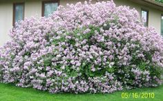 Image result for donald wyman lilac review