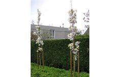 Prunus serrulata Amanogawa (Zuilsierkers)
