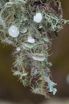 beard lichen   Flickr - Photo Sharing!
