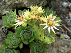 Sempervivum grandiflorum is a hardy, small succulent with rosettes up to 2 inches (5 cm) in diameter in the wild, more in cultivation...