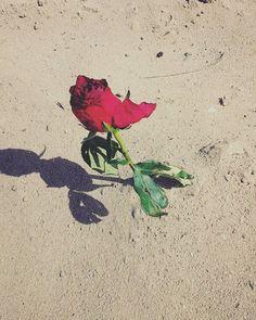 #rosarossa #fiori #spine #rosa #rossa #sabbia #spiaggia #igersrimini #rimini #mare #deserto by caterina.giambelli