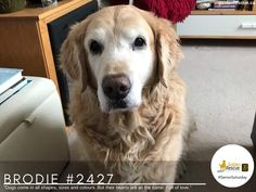 """""""Dogs come in all shapes, sizes and colours. But their hearts are all the same. Full of love."""" #goldenretriever #seniorsaturday #adoptdontshop #rescuedog Adoption Stories, Rescue Dogs, Great Gifts, Colours, Happy, Animals, Life, Animales, Animaux"""