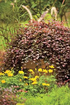 8 Great Plants You Gotta Grow: 'Purple Pixie' Loropetalum