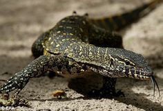 Giant lizards up to seven feet long are invading some parts of Florida. Description from dailymail.co.uk. I searched for this on bing.com/images