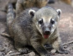 Coatis are part of the racoon family, and are also known as the hog-nosed coon, snookum bear and the Brazilian aardvark. #Cute