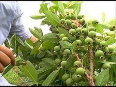 Spirulina, Medicinal Plants, Kefir, Permaculture, Aloe Vera, Natural Health, Natural Remedies, Herbalism, Detox