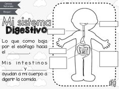 Recently shared sistema digestivo ideas & sistema digestivo pictures Science Lessons, Science For Kids, Science And Nature, Elementary Spanish, Elementary Schools, Human Body Crafts, Bilingual Classroom, School Decorations, Body Systems