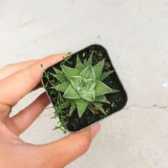 Haworthia Zebra Plant is a striking succulent. Its leaves are thin, and dark green with horizontal white ridges that resemble zebra striping. Where To Buy Succulents, Buy Succulents Online, Planting Succulents, Planting Flowers, Spiky Succulent, Zebra Plant, Growing Flowers, Echeveria, Clay Pots