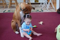 Taking care of the young'ns.. boxers are so good with kids.... I was just about this age when my family got our first boxer, Lady, and heaven help anyone she didn't know coming near me!
