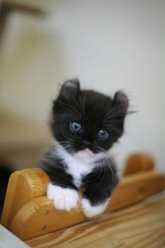 black & white kitten ~ too cute
