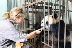 VOLUNTEER WITH PANDAS. feeding a panda