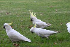 cockatoos in Sydney