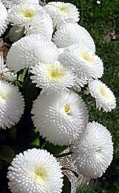 A imagem pode conter: flor, planta e natureza - Unusual Flowers, Types Of Flowers, Amazing Flowers, White Flowers, Beautiful Flowers, Flowers Nature, Flor Magnolia, Bellis Perennis, Moon Garden