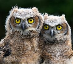 Great Horned owl babies~