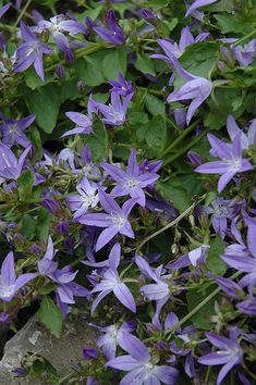 Serbian Bellflower (Campanula poscharskyana) at Echter's Nursery & Garden Center