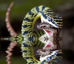 snake with gecko prey. Animals Of The World, Animals And Pets, Wildlife Photography, Animal Photography, Pictures Of Reptiles, Kinds Of Snakes, Scary Snakes, Pretty Snakes, Snake Art