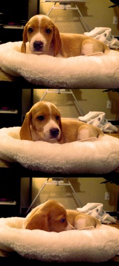 Are you interested in a Beagle? Well, the Beagle is one of the few popular dogs that will adapt much faster to any home. Whether you have a large family, p Cute Beagles, Cute Puppies, Dogs And Puppies, Dogs 101, Baby Puppies, Art Beagle, Beagle Puppy, Pocket Beagle, Bulldog Breeds