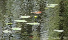 Yellow Pond Lilies (Nuphar lutea) at Echo Point on Wincheck Pond at Camp #Yawgoog. Image by David R. Brierley.