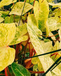 BWH PlantCo Honeysuckle Plant, Tomatoes, Plant Leaves, Rainbow, Vegetables, Plants, Rain Bow, Rainbows, Vegetable Recipes