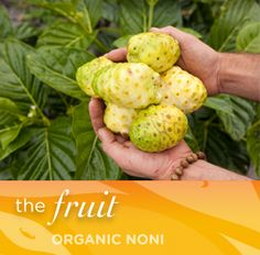Noni Fruit, Noni Fruits, Fruit Noni, Fruta Noni, Fruta de Noni, Noni Fruta, Fruto Noni, Fructul Noni, Noni Fruit Benefits, Fruta do noni, Fruta Noni Beneficios, Noni Fruit Tree, Noni Fruta Medicinal, Noni Fruit Powder  The raw material for all other noni products, the Noni is considered to be the best possible natural medicine to fight major diseases in a human body today.