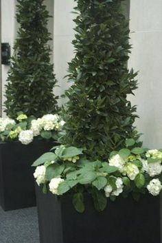 Topiary Here terrazzo cube planters containing tall clipped bay cones are underplanted with the soft domes of white hydrangeas. The large leaves of the hydrangea really softens the effect and introduces and new texture into the planting scheme. White Gardens, Small Gardens, Outdoor Gardens, Container Plants, Container Gardening, Urban Gardening, Hortensia Hydrangea, White Hydrangeas, White Flowers