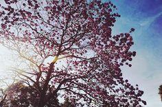 Ipê rosa - Brasília #pink #tree #ipe #rosa #brasilia